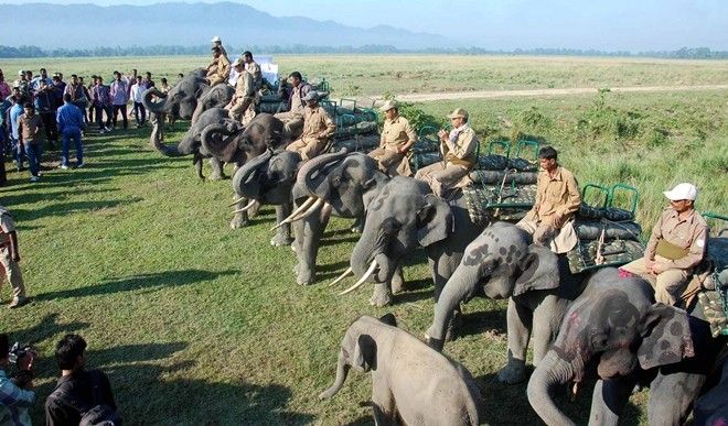 KAZIRANGA, NOV 01 (UNI):- Elephants lined up for Elephant ride at Kohra range at Mihimukh in Kaziranga National Park on Saturday. The Kaziranga National Park reopened for tourists on Saturday after its routine closure for six months. UNI PHOTO-76U