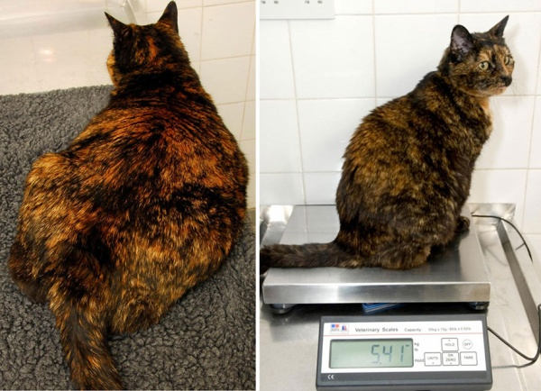 fat-animals-lose-weight-obesity-pet-fit-club-pdsa-uk-3