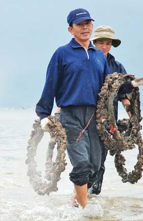 Người nông dân thu hoạch hàu xong sẽ tiếp tục tái sử dụng lốp xe.