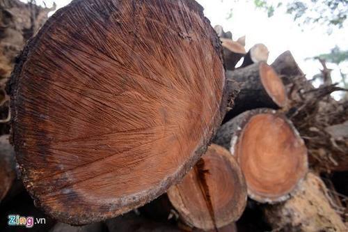 Hà Nội bán được hơn 1 tỷ đồng từ gỗ chặt hạ cây xanh