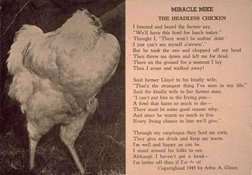 Câu chuyện về chú gà được lưu truyền lại.