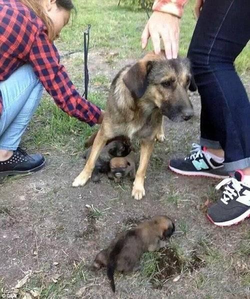 Chó mẹ đau buồn khi phát hiện các con bị chôn sống.
