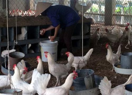 Nhờ nuôi giống gà này mà người dân trong làng đang có thu nhập khá, nhiều nhà mua được ôtô, sắm được xe sang.