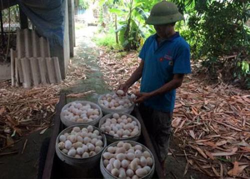 Trứng gà Ai Cập màu trắng nhìn rất giống trứng gà ta thả vườn, được thương thái ưa chuộng đến tận nhà thu mua với giá cao.