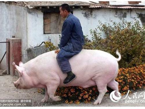 Cảnh ông Trương cưỡi heo nái nặng 1.200 kg đi dạo. Ảnh chụp màn hình Nhân Dân nhật báo.