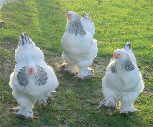 Cho đến bây giờ nguồn gốc của gà Brahma vẫn là một bí ẩn. Các nước phương Tây như Anh, Pháp, Mỹ... cho rằng chính họ đã lai tạo ra.