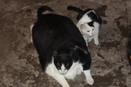 """""""Đôi bạn thân"""", mèo khủng với mèo nhỏ nặng... 4kg."""