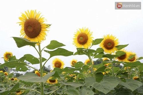 Những bông hoa mặt trời có vẻ đẹp mê đắm lòng người - (Ảnh: Phương Thảo).