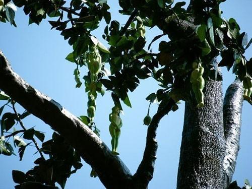 Một số người tỏ ra kinh ngạc về loại cây kỳ diệu.