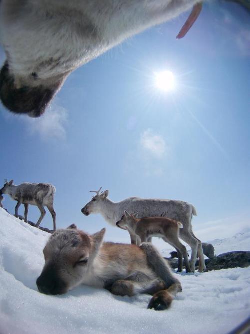 Chú tuần lộc nhỏ nằm ngủ trên núi tuyết của đất nước Na Uy.