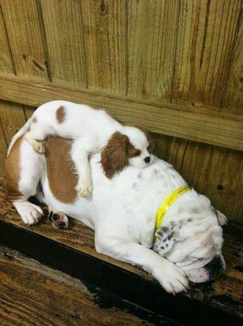 28. Tư thế ngủ đáng yêu của các chú chó
