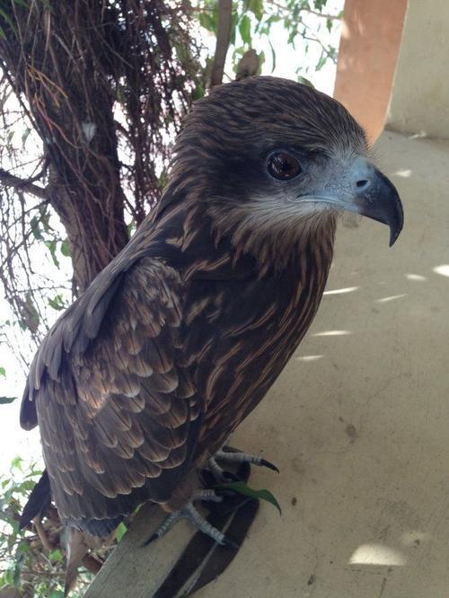 Con chim cắt mà lực lượng chức năng thu được từ nhà Cường - Ảnh: Doãn Hòa