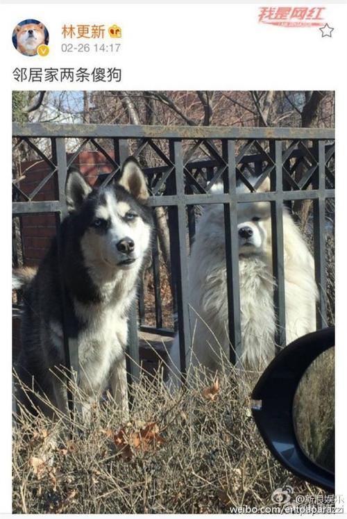 Hình ảnh chê cười hai chú chó nhà xóm của Lâm Canh Tân.