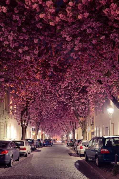 Đường hoa anh đào thành phố Bonn (Đức): Nằm bên dòng sông Rhein phía tây nước Đức, Bonn là thành phố thu hút một lượng lớn khách du lịch mỗi năm. Khi mùa xuân tới, hoa anh đào nở rực rỡ như một mái vòm che kín cả con đường. Ảnh: Getty.