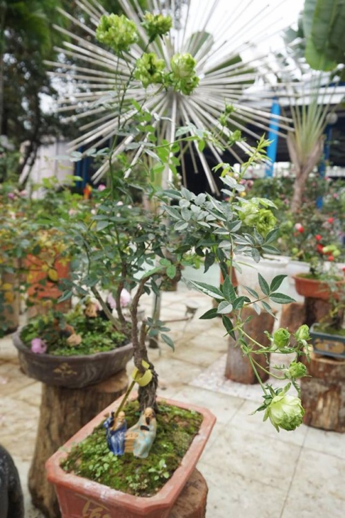 Cây hoa hồng xanh bonsai cực hiếm, đang độ nở hoa tuyệt đẹp.