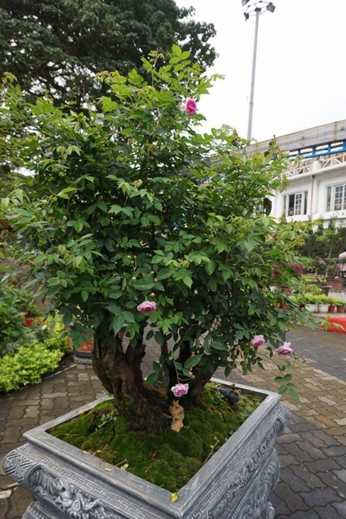 Cây hồng bonsai có niên đại 200 năm tuổi được trưng bày.