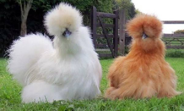 Gà Silkie hay còn gọi với cái tên dân dã là gà lông xù đang được rất nhiều người lùng mua.