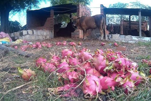 Thanh long không bán được người dân xã Hàm Chính, Hàm Thuận Bắc phải mang cho bò ăn. Ảnh: Zen Nguyễn.