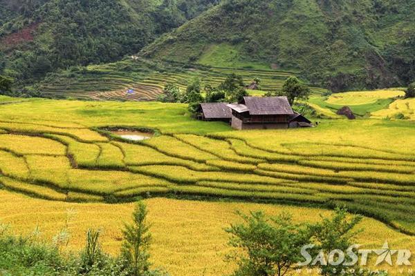 Những ngôi nhà của đồng bào vùng cao nằm giữa mênh mông lúa chín, luôn là điểm nhấn đầy thơ mộng của bức tranh mùa vàng.