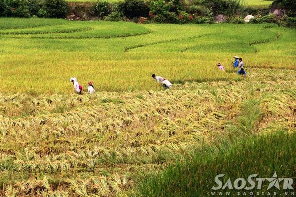 Đâu đó có thể bắt gặp cảnh người dân đang nô nức gặt hái thành quả của cả một năm lao động vất vả.