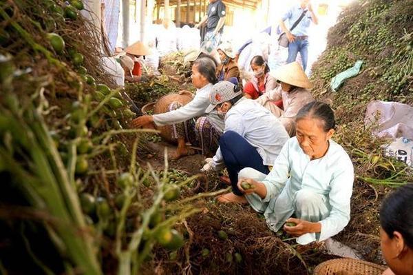 Điểm thu mua của ông Phạm Cường (xã Hương Văn) mỗi ngày thu mua 3-4 tấn cau non.