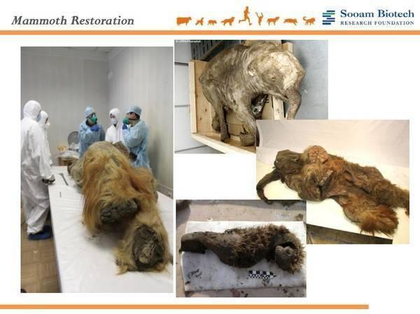 Các mẫu vật voi ma mút mà Sooam thu thập được