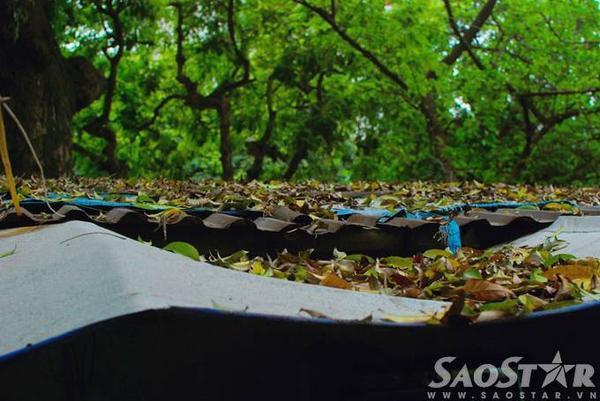 Phủ kín các mái nhà trong các khu biệt thự cũ nằm dọc các tuyến phố trồng sấu nhiều như Trần Hưng Đạo, Lý Thường Kiệt...