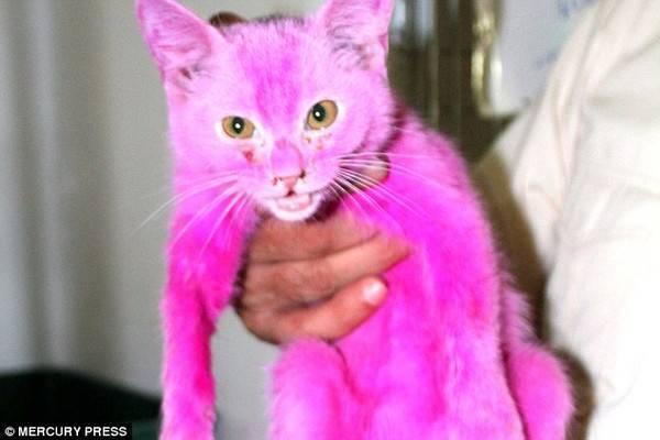 Con mèo nhỏ có tên Pinky sau khi bộ lông bị nhuộm hồng.