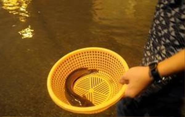 """""""Sau khi nước rút dần, các loại cá trê, rô đồng theo dòng nước chảy bơi lên mặt đường khá nhiều, chỉ cần quan sát có thể phát hiện cá ngoe nguẩy, bơi chậm phía dưới"""", thanh niên này cho hay."""