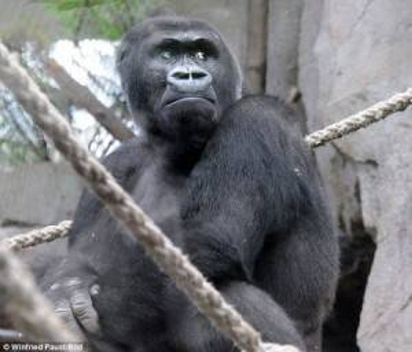 Đây là lần thứ 2 khỉ mẹ phải chịu sự mất mát.
