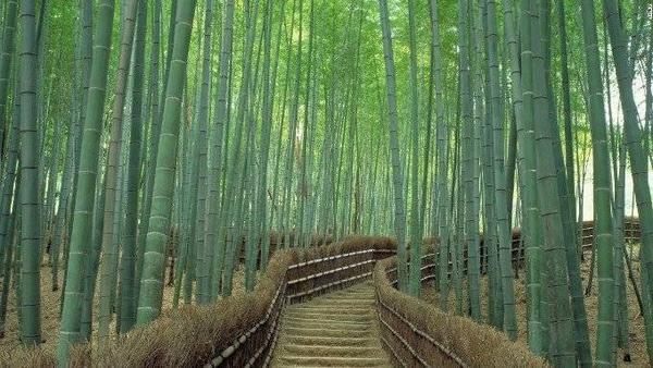 Ảnh 9: Rừng trúc Sagano. Đây được xem là một trong những khu rừng xinh đẹp nhất thế giới.