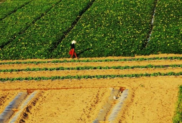 Cánh đồng mướp giữa sông Ba. Đi trên cầu Đà Rằng có thể nhìn xuống thấy được những luống dưa, luống mướp trồng giữa bãi phù sa.