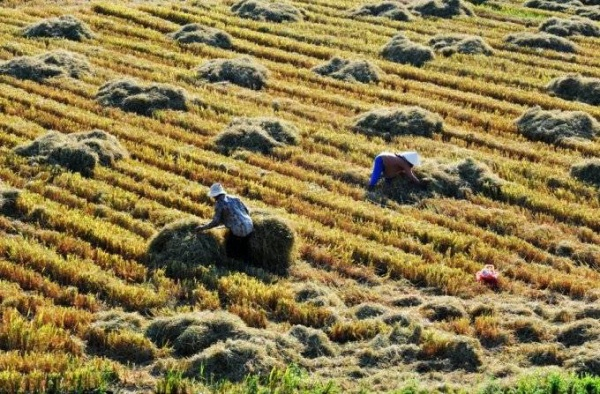 Cuối vụ gặt tại cánh đồng Phước Lộc, huyện Đông Hòa.