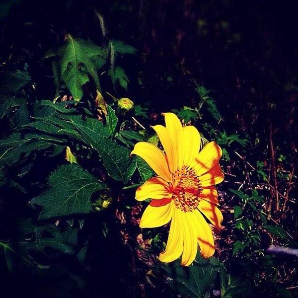 Hoa da quy (1)