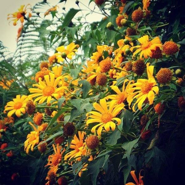 Hoa da quy (6)