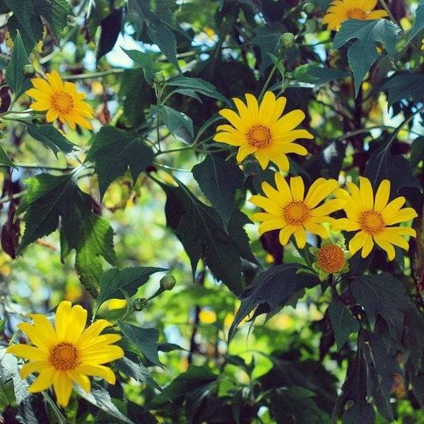 Hoa da quy (7)