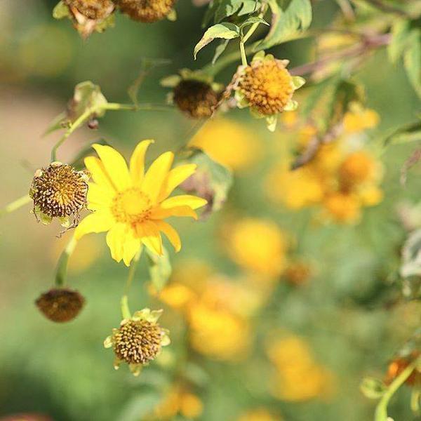 Hoa da quy (9)