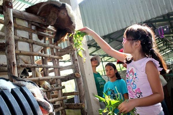 Đến đây, các gia đình sẽ tìm hiểu khẩu phần ăn, cách chăm sóc các loại gia súc. Khách sẽ được tự tay cho thú ăn.