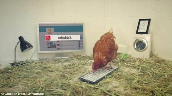 Chú gà Betty và văn phòng riêng của mình.