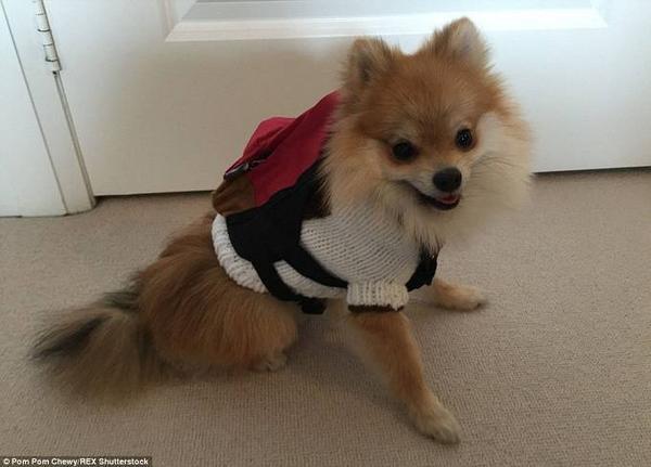 """Pom Pom Chewy, chú chó giống lai nửa cáo, nửa Pomeranian 7 tháng tuổi đã trở thành một hiện tượng gây bão mạng xã hội sau khi người chủ của em đăng tải những bức ảnh về """"khuôn mặt siêu dễ thương"""" và """"phong cách ăn mặc"""" lên trang mạng xã hội."""