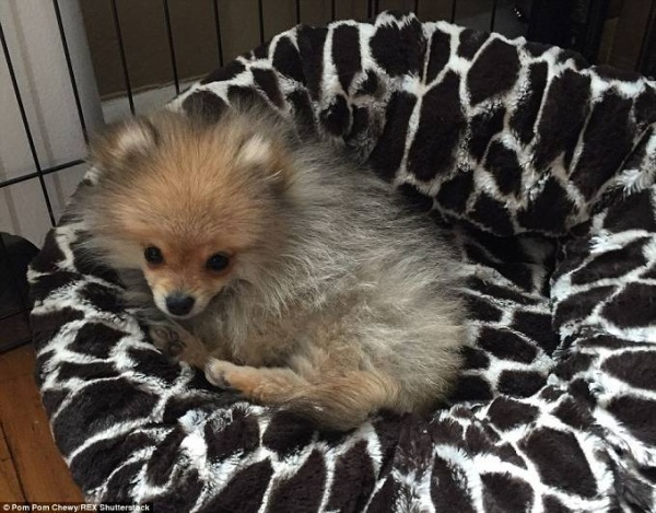 Chồng của cô chủ Chewy thì nói rằng chú chó này thích tắm nắng, chạy theo bóng trong công viên,…Và đặc biệt, là em rất thích ăn bơ đậu phộng.