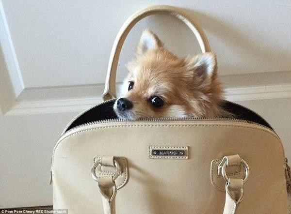"""Chú chó bỗng trở thành hiện tượng mạng nhờ """"ăn mặc sành điệu""""."""