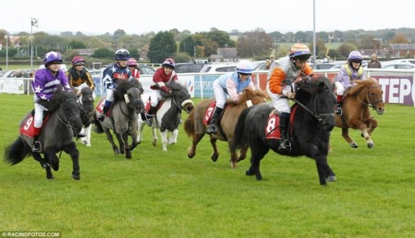 đua ngựa lùn ở Anh (2)
