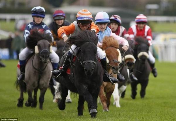 đua ngựa lùn ở Anh (3)