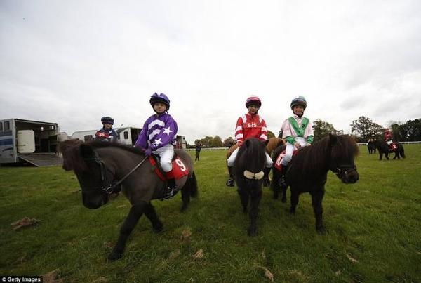 đua ngựa lùn ở Anh (4)