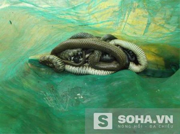 Người dân cho hay, họ phát hiện có rắn hổ hành, rắn nước, rắn trun... đựng trong 3 bao tải.