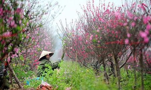 Người trồng đào hối hả chăm sóc cây chờ ngày Tết đến. Ảnh: Giang Huy.