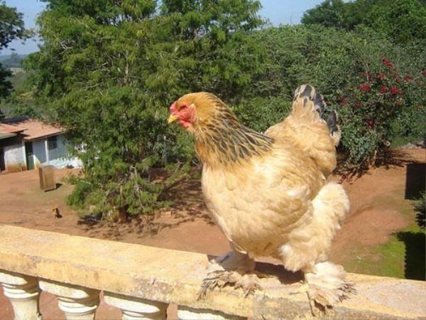 Brahma sinh sản khoảng 70 - 90 trứng/năm, trứng nặng khoảng 55-60g