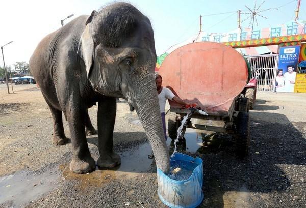 Chú voi đang uống nước vòi trước khi buổi biểu diễn xiếc bắt đầu tại rạp xiếc Raj Mahal tại thành phố Bhopal, Ấn Độ. Ngành công nghiệp xiếc là một trong những loại hình giải trí xưa cũ nhất tại đất nước Nam Á, hiện đang gặp rất nhiều khó khăn khi số lượng các đoàn xiếc ngày một giảm đi trong vài thập kỷ nay.