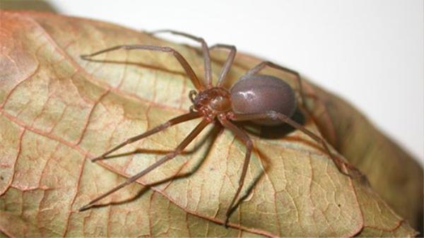 Vết cắn của nhện thuộc nhóm Loxosceles có thể gây hoại tử - Ảnh: arachnids.myspecies.info.